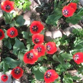 tulipany_z_gory
