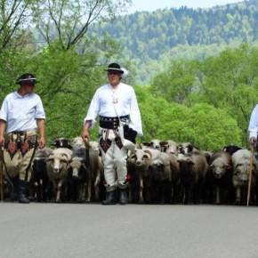 owce_ida_na_wypas_dwernik