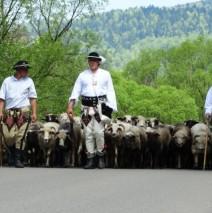 Poszły owce po asfalcie